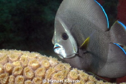 Intermediate Gray Angelfish swimming over Great Star Cora... by Michael Kovach 